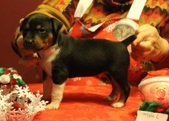 """Male 2 - AAcres Boone """"BOONE"""""""