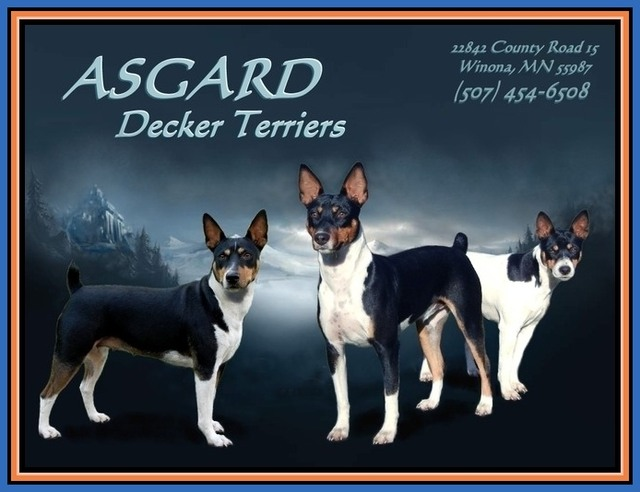 Asgard Decker Rat Terriers