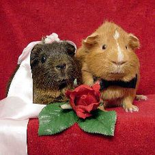 Rubber Wedding Band >> A Guinea Pig's Wedding by TexCavy