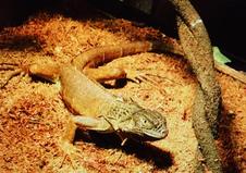 Iguanas/Lizards