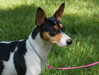 Timberlane Rat Terrier Females