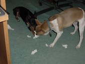 RAT TERRIER FUN PHOTOS
