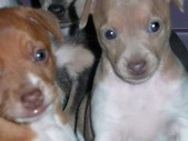 Rat Terrier Puppies are Here