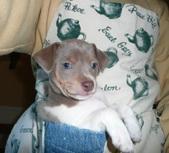 Rat Terrier Puppies Arrived!