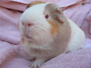 Piggies for Adoption