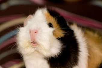 Great Guinea Pig Photos