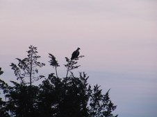 Osprey Siting