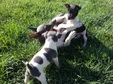 Rat Terrier Puppies, Dakota and Guy