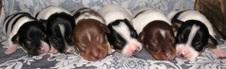 COBALT RAT TERRIERS NEW LITTER  7/12/15