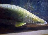 Arapaima