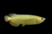 Red Tail Golden Arowana