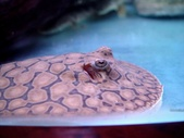 Stingray Reticulata