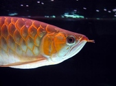 The Growth of A SR Arowana
