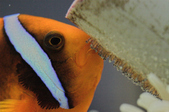 Anemonefish & Demselfish
