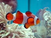 Anemonefish and Damselfish