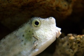 Box_Cow_Puffer fishes