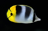 Butterflyfish