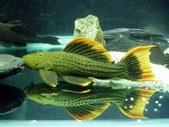 Catfishes