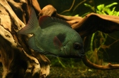 Cichlid