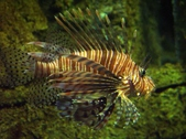 LionfishScorpionfishStonefish
