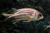 Soldierfish