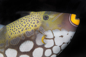 Triggerfishes and Filefishes 