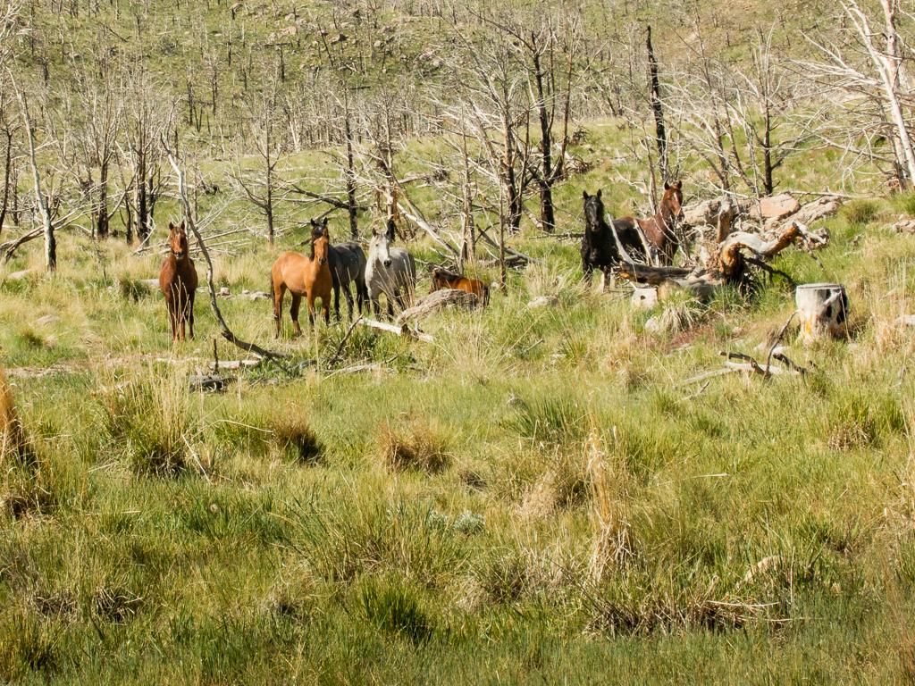 Wild horses, Sulphur herd, Spanish barb genes