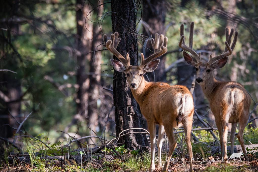 Unusual mule deer antlers