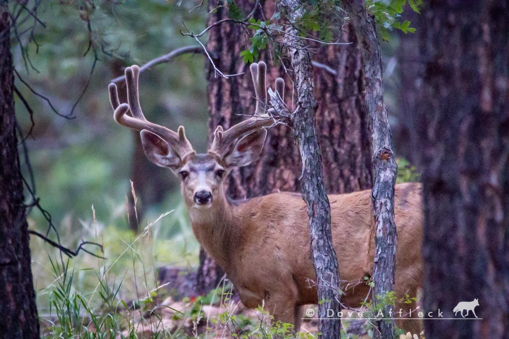 Nice mule deer buck
