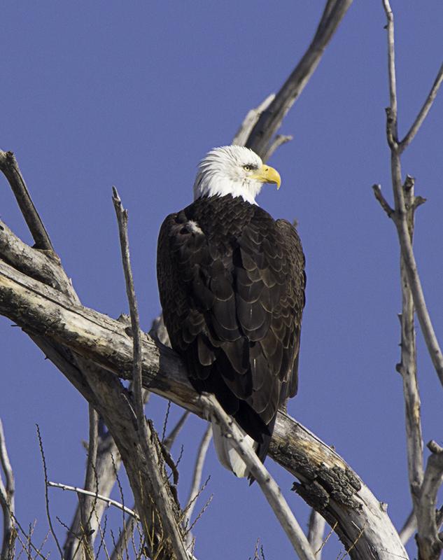 IMAGE: http://photos.imageevent.com/daffleck/coyotes/20140126_Wildlife-609W.jpg