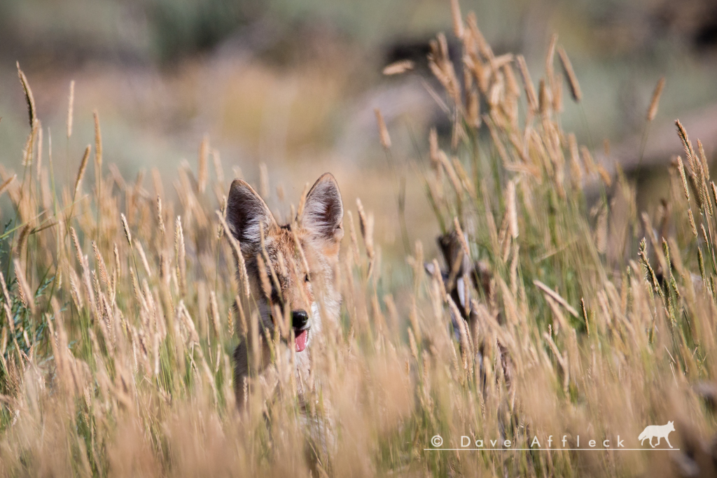 Coyote pup peering at us through tall grass