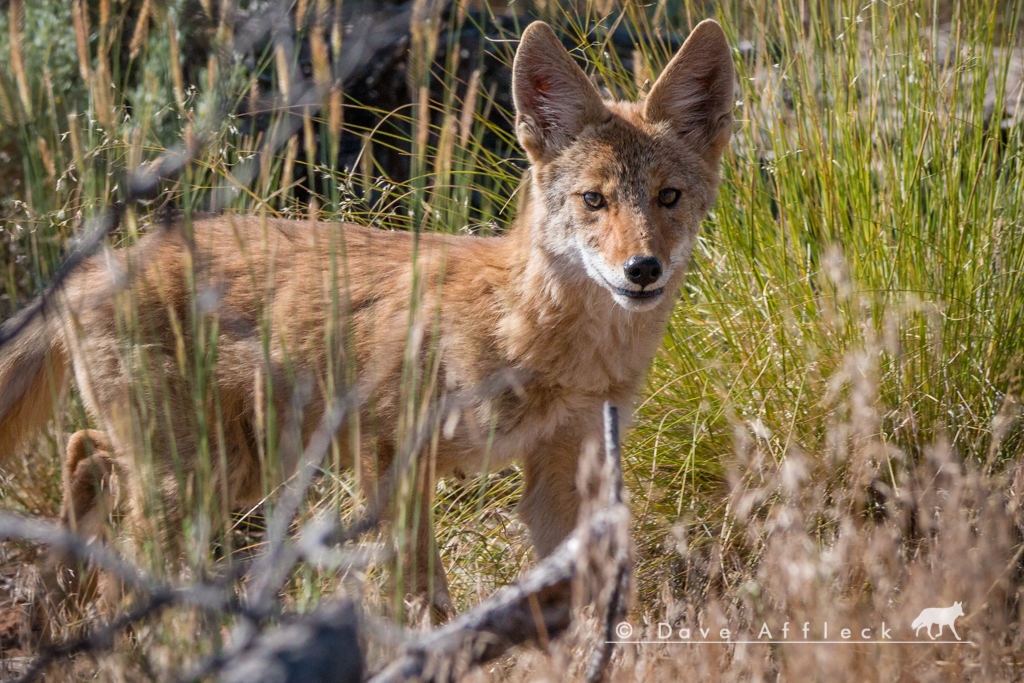 Coyote pup standing and looking at us from ten feet away