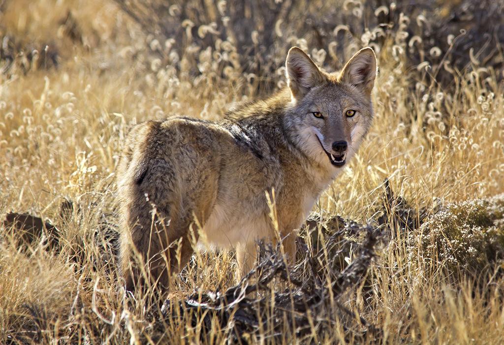 IMAGE: http://photos.imageevent.com/daffleck/coyotes/IMG_4266B-W.jpg