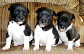 LOVELY RAT TERRIER MALE - 12 WKS - $275