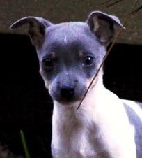 """ONE CAL VAL PUPPY AVAILABLE -  """"PUTZ"""""""