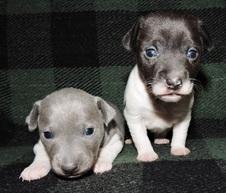 2 CAL VAL PUPPIES BORN TO HOOLA & REGIS