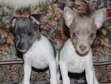 CAL VAL PUPPIES  - 1 FEMALE  AVAILABLE