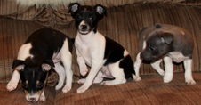 CAL VAL RAT TERRIERS - MARY / HUNTER