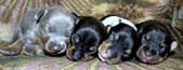 CAL VAL PUPPIES - ALL SOLD