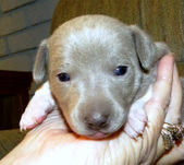 CHAMPION ZSA ZSA'S LITTER - ALL SOLD