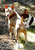 OUR RAT TERRIER GENTLEMEN