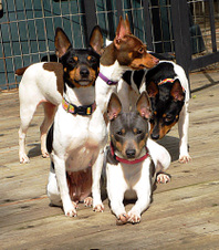 OUR RAT TERRIER LADIES