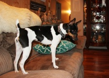 CAL VAL RAT TERRIERS - FEMALE RESERVED
