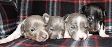 4 CAL VAL PUPPIES BORN TO ZSAZSA / REGIS
