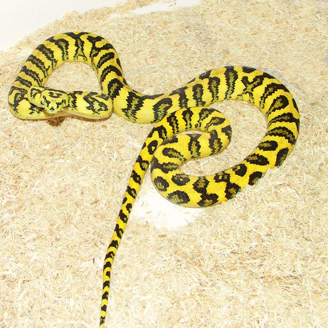 Diamond Jungle Jag Carpet Python - Carpet Vidalondon