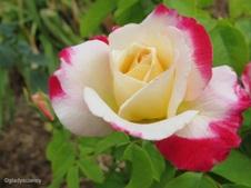 My Roses 2013