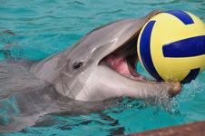 Dolphin Plays Ball