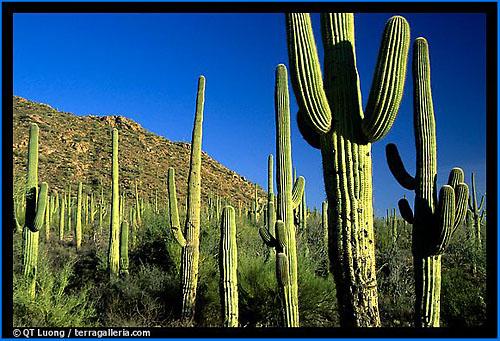 Saguaro Cacti.