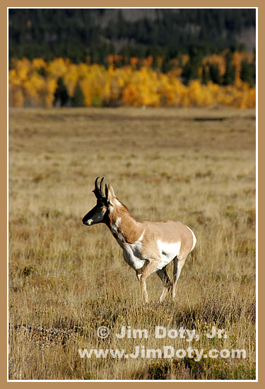 Antelope, South Park, Colorado