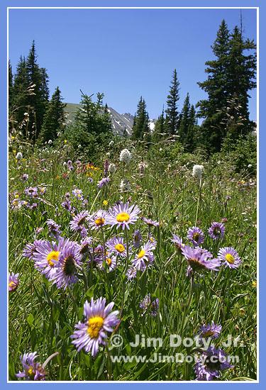 Wildflowers, Indian Peaks, Colorado